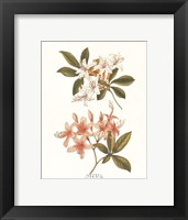 Swamp Honeysuckle Framed Print
