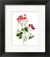 Flowers (Untitled) - Pansy Framed Print