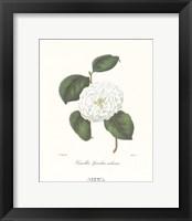 Framed Camellia Spiraliter Imbricata