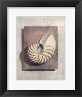 Seashell Study II Framed Print