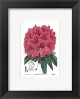 Framed Rhododendron No. 2
