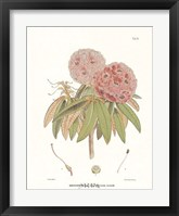 Campeelliae Sheopore Nepal Framed Print