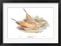 Syrrhaptes Tibetanus Framed Print
