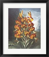 The Superb Lily Framed Print