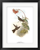 Framed Coeligena Typica/Hummingbirds
