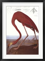 Framed American Flamingo