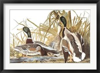 Framed Mallard Duck