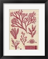 Framed Britich Seaweed Plate CCXLVII