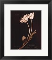 Framed Tulip Sylvestrie No. 10
