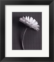 Framed Fresh Cut Gerbera Daisy III