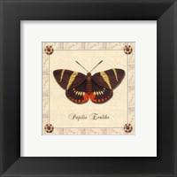 Framed Papilio Evalthe I