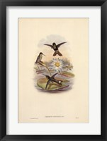 Urosticte Ruficrissa Framed Print