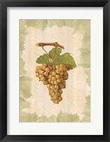Framed Antique Grapes - Terret Blanc