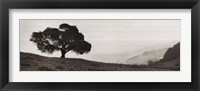 Black Oak Tree Framed Print