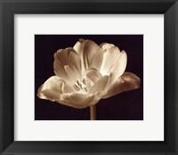 Champagne Tulip III Framed Print