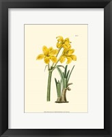 Framed Yellow Narcissus I