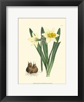 Framed Yellow Narcissus II
