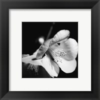 Framed Quince Blossoms II