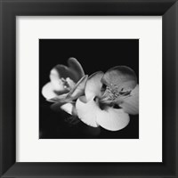 Framed Quince Blossoms IV