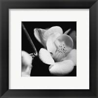 Framed Quince Blossoms V