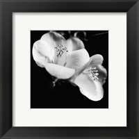 Framed Quince Blossoms VI