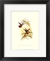 Framed Small Gould Hummingbird I