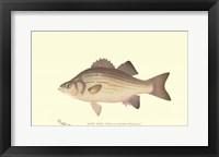 Framed White Bass