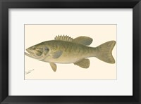 Framed Small-mouthed Black Bass