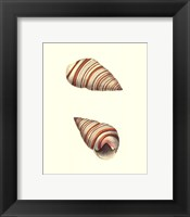 Framed Ribband Bulla Shells
