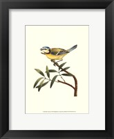 Framed Blue Titmouse
