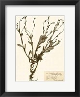 Pressed Flower Study II Framed Print