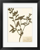 Pressed Flower Study III Framed Print