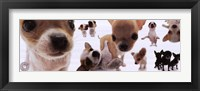 Dogs - Chihuahua Framed Print