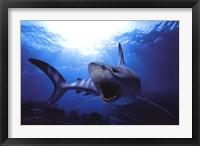 Framed Shark Teeth