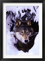 Framed Winter Wolf