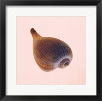 Framed Fig Shell