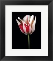 Tulipa Sorbet Framed Print