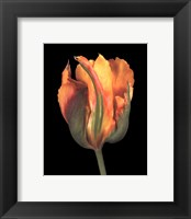 Framed Tulipa Golden Artist