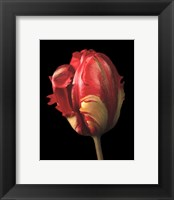 Framed Tulipa Orange Flame