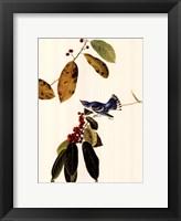 Framed Cerulean Warbler