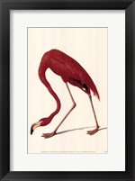 Framed Greater Flamingo