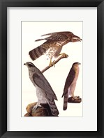 Framed Northern Goshawk