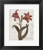 December Amaryllis Framed Print