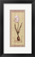 Framed White Tulip With Bulb