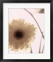 Gerbera Shimmer II Framed Print