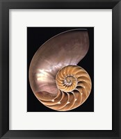 Framed Chambered Nautilus