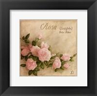 Framed Rosa Centifolia
