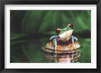 Framed Red-Eyed Tree Frog