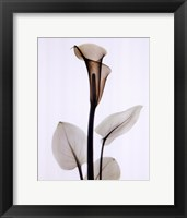 Framed Calla One