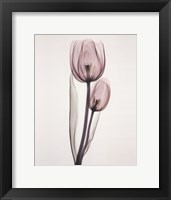 Framed Tulipa Two